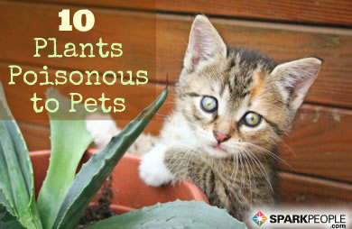 10 common house plants that are poisonous to pets sparkpeople. Black Bedroom Furniture Sets. Home Design Ideas